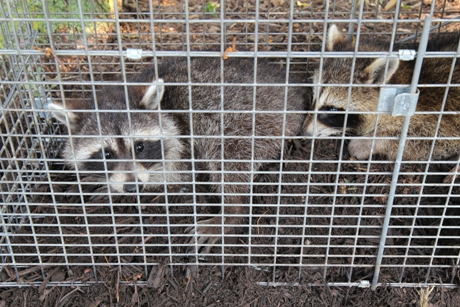 Why Live Trapping Pests is Best Left to the Pros