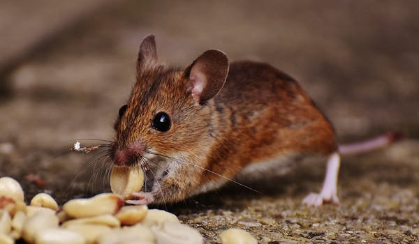 Do Rodents Carry Germs