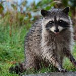 Why Toronto is the Raccoon Capital of the World