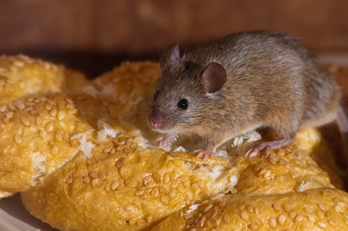 What Damage Can Rats Do to Property
