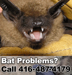 Bat Removing Service Serving Oakville