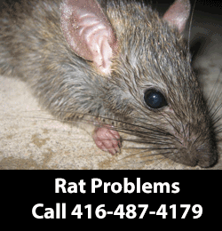 Rat Removal Service Serving Scarborough